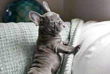 We love Frenchies! / French Bulldog