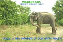Rescued elephants  / Elephants used for begging or at the circus have been mistreated. Several suffer from handicaps such as blindness. Wildlife SOS has established India's first chain free care centre for elephants near Mathura called Elephant Conservation and Care Centre (ECCC)