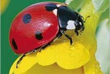 Lieveheersbeesje/ladybug
