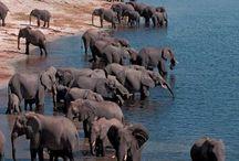 Majestic Elephants / Elephants