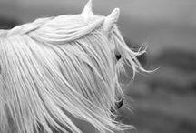 HORSES  -  PERDE