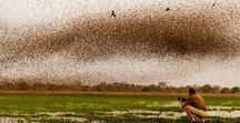 Zakouma - Chad / Zakouma is a park of extremes and abundance – flocks of millions of red-billed quelea flying to roost, tens of thousands of waterbirds on dwindling pans and thousands of black-crowned cranes flying into the sunset. The big game is plentiful too - the rare Kordofan Giraffe, Roan Antelope, Tiang, other antelope species, Lion and large herds of Buffalo. The uniqueness of a safari in Zakouma is that you are in an untouched part of Africa that few other westerners have experienced.