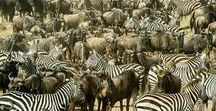 Serengeti - Tanzania / Home to the world's most spectacular wildlife event as herds of Wildebeeste, Zebras and Antelopes roam the vast savannah eco-system that stretches from Ngorongoro Crater to The Maasai Mara. We can guarantee your safari is at the heart of the migration, with the option of a classic mobile tented camp that moves with the herds and the seasons.