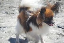 Papillon dogs / Papillon dog, a toy dog, a family dog, a leader, likes to go for long walks!!