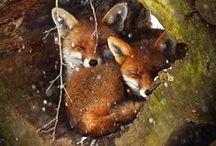 Fox - renard - wolf - fennec / renard et loups sauvage - foret - fox - fennec - firefox