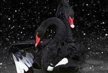 Swans <3