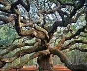 Terrific Trees / It is not so much for its beauty that the forest makes a claim upon men's hearts, as for that subtle something, that quality of air that emanation from old trees, that so wonderfully changes and renews a weary spirit. - Robert Louis Stevenson