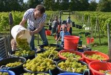 Oatley Harvests / English wine-grape harvests at Oatley Vineyard, Somerset UK, since 1988