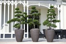 topiary, niwaki / buxus,juniperus, wachholder, boxwood