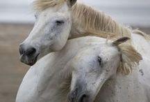 Pferdekuscheln / Pferde können sehr liebevoll zueinander sein und brauchen unbedingt Gesellschaft. Hier zeigen wir euch jede Menge Pferde, die miteinander kuscheln.