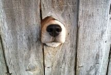 MAYMO / beagle- & doglove!