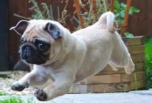 Pug / Here is full of really cute pugs and some funny pugs too