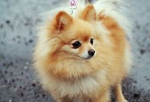 Pomeranian / Here is a bunch of cute and funny Pomeranians