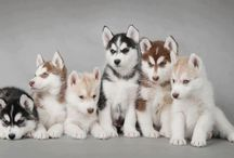 Husky / So much cute and beautiful huskies!!! I love them all!!