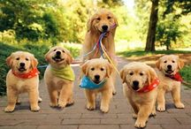 Golden retriever / 25 cute and adorable golden retrievers I love them so much