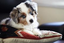 Australian Shepherd / My favourite of all breeds!! Aren't they adorable! Especially the blue merles!