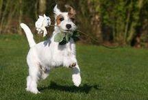 Jackrussell Terriers