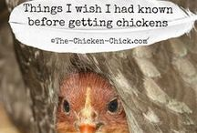 """Chickens / """"Ain't nobody here but us chickens"""" ~ Louis Jordan"""