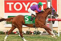 Collection of California Chrome / Did you know California Chrome was born at Harris Ranch Farms? His parents are still living at Harris Ranch! Here is a collection of California Chrome pictures showcasing our favorite horse.