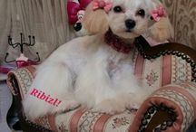 Creative dog grooming / Bichon