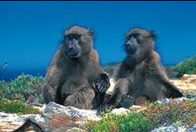 The Cape Baboons at Cape Point / Chacma baboons also known as the Cape Baboon at Cape Point are unique because they regularly harvest shellfish from the shore. Baboons are the largest members of the monkey family with a body length of up to 115 cm and a weight from 15 to 31 kg.