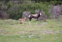 Bontebok / The Bontebok is an antelope found in South Africa and typically stand 80 to 100 cm (31 to 39 in) high at the shoulder and measure 120 to 210 cm (47 to 83 in) along the head and body. The bontebok is a chocolate brown colour, with a white underside and a white stripe from the forehead to the tip of the nose. The horns of bontebok are lyre-shaped and clearly ringed. They generally lamb around October each.