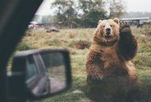 dark bears