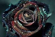Roses Розы