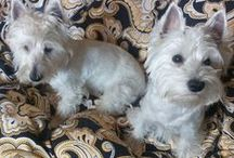Westie Masza and her new, older brother Igor / These are my dogs.