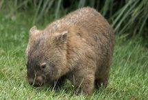 Wombat / by wombat