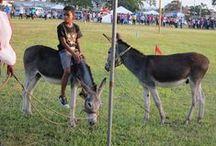 Donkey Derby in Arima / Jedes Jahr findet in Arima das Eselrennen statt. Ein tolles Spektakel!