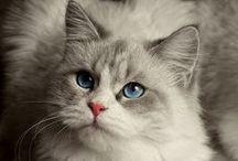 Bársonytalpúak - egy szerelem kezdete:) / Mint cicának nincsenek nagy igényeim, csak annyi - kérlek szeress - ... de minden szőrszálamat külön is, ha lehet!