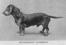 Dachshund / Hunting dog from Germany