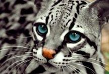 Animals - Wild Cats / Big Cats..beautiful and wild. / by Frosttie Flakes