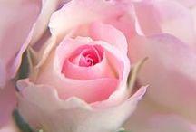 Mignonne, allons voir si la Rose... / Les roses blanches, roses, anciennes, parfumées...