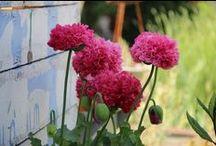 Les fleurs de mon jardin... / ... secret...