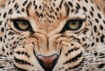 Felines / #feline #cat #tiger #lion #cheetah