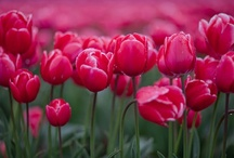 Tiptoe through the Tulips / by Donnelle McClurg
