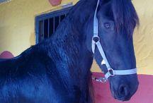 Frisones / Maravillosos caballos y los mas nobles.