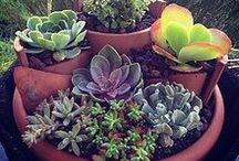 Suculentas...y algunos cactus. / Plantas gorditas y bonitas que acumulan agua en sus hojas.