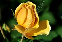 Roses of love / roses of love, rosen der liebe, roses de l'amour, trandafiri cu miros de iubire