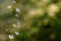 Spring flowers / spring flowers, fruhlingsblumen, fleur de printemp, flori de primavara,