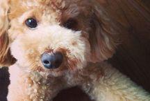 My pet dog Mocha / Everything about Mocha, my pet Toy Poodle.