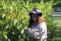 Vignoles Harvest 2013