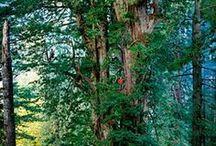 Sequoia tree - Dev sekoya ağaçları / Sequoia tree - Dev sekoya ağaçları