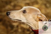 Whippets / Select of images taken by myself at whippet lure coursing events.
