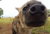 #09 - hyenas