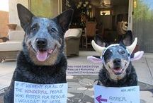 ACD - Blue Heeler / Great dogs!!! / by Spaci