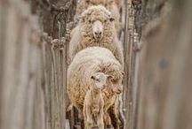 Sheep l Mouton