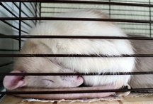 ratbags / These are pet rats and are loving, intelligent, fun pets. Get to know one and you'll fall in love
